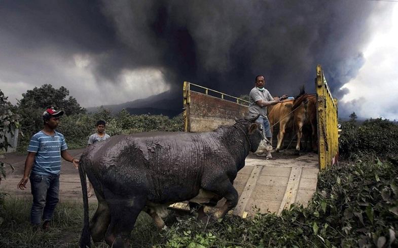 Синабунг эвакуация коров