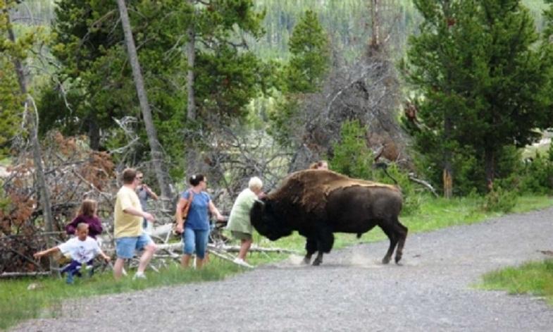 Йеллоустоун бизоны