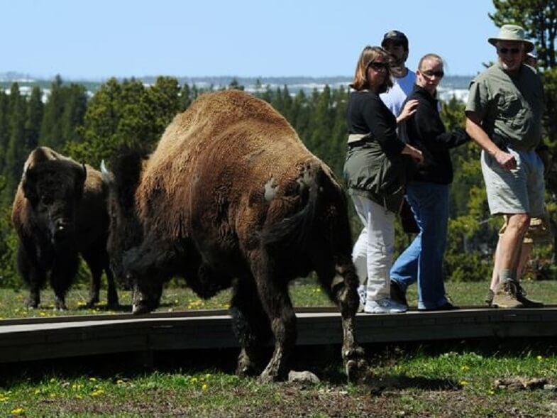 бизоны в Йеллоустоуне