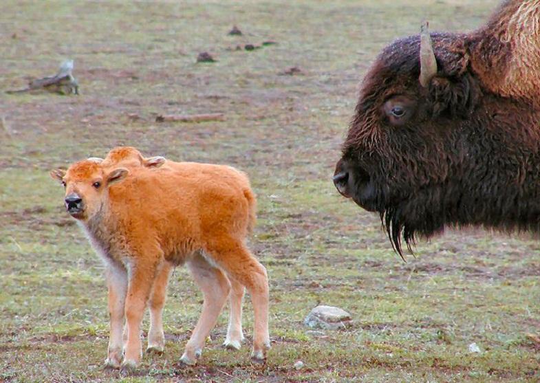 бизоны Йеллоустоуна