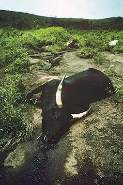 Ньос погибшая корова