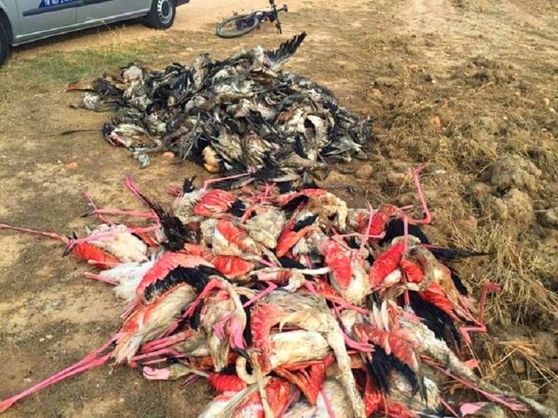 Погибшие фламинго в Испании