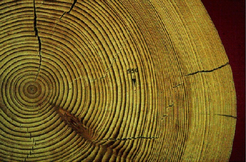 древесные кольца