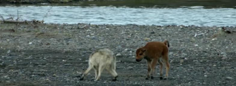 Йеллоустоун маленький бизон