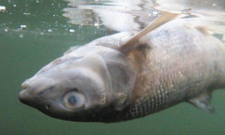 рыба в Йеллоустоуне